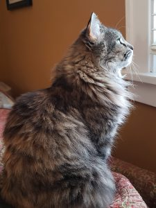 Beautiful long-haired gray tabby cat looking out the window