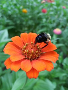 Bright orange flower with a bee perched on it.