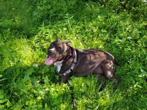 Pit bull dog sitting in grass
