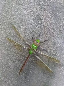 Photo of a dragonfly